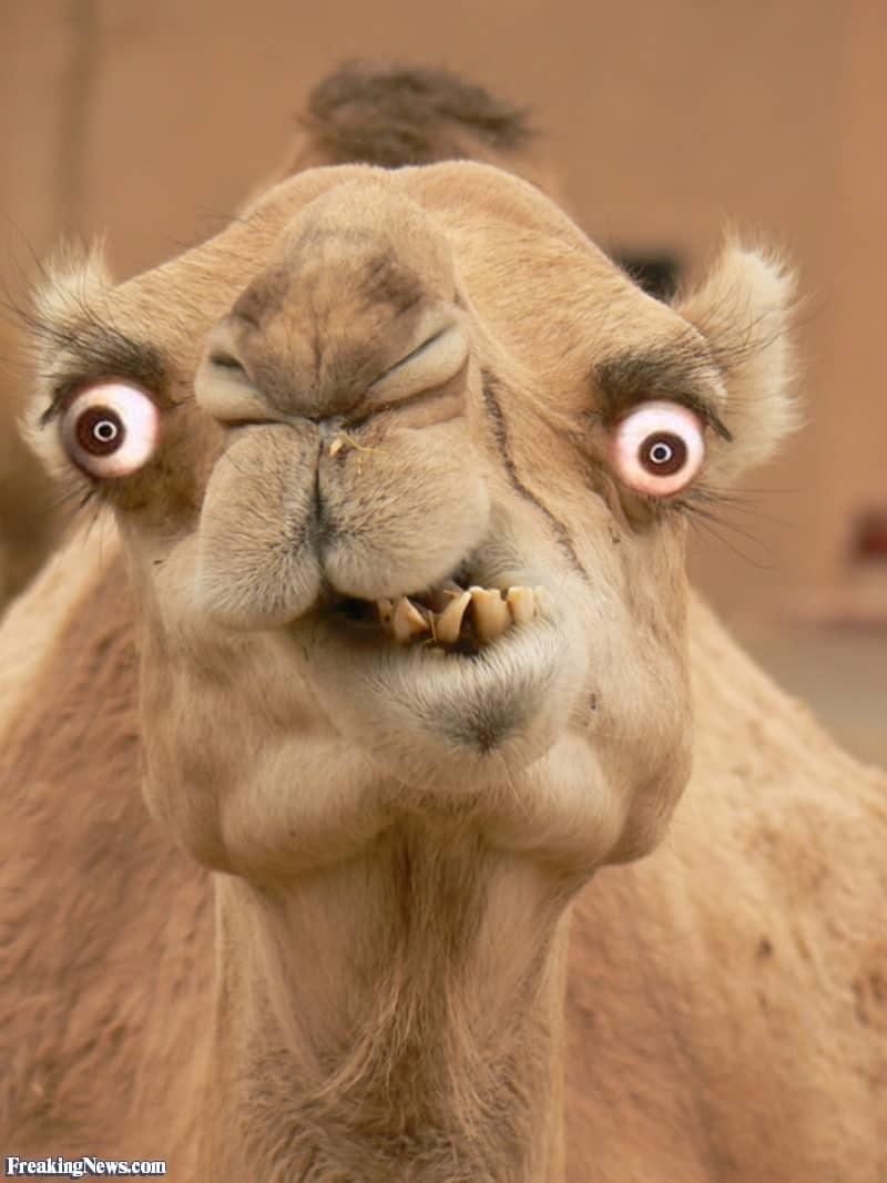 Gal kamel